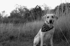 Yellow Labrador Retreiver Dog in Bandanna. Yellow lab retreiver in woods with a bandanna Stock Photos