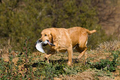 Yellow Labrador with retrieved pigeon. Yellow Labrador retrieving pigeon during field trial competition Royalty Free Stock Photos