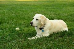 Free Yellow Labrador Retriever Stock Photos - 11406593