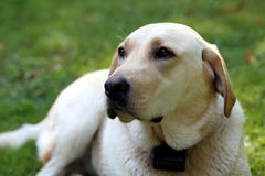 Yellow labrador retriever. Portrait of a yellow lab Royalty Free Stock Image