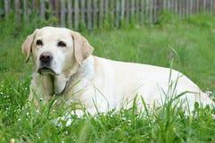 Yellow labrador retriever Stock Images