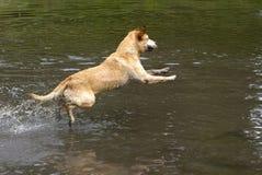 Yellow Labrador Retriever. A Yellow Labrador Retriever dives into a lake Royalty Free Stock Photos