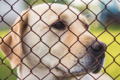 Yellow Labrador Retriever Royalty Free Stock Photo