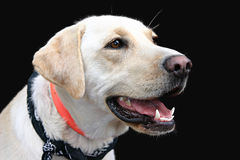 Yellow labrador retriever Stock Photos
