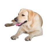 Yellow Labrador Retriever Royalty Free Stock Photography
