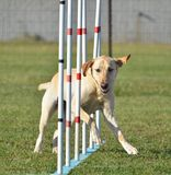 Yellow Labrador Retriever at Dog Agility Trial Stock Photography