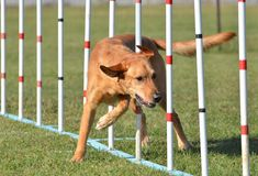 Yellow Labrador Retriever at Dog Agility Trial Stock Image