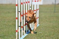 Yellow Labrador Retriever at Dog Agility Trial Royalty Free Stock Image
