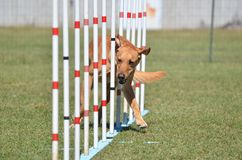Yellow Labrador Retriever at Dog Agility Trial Stock Images