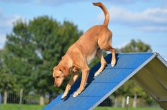 Yellow Labrador Retriever at Dog Agility Trial Royalty Free Stock Image