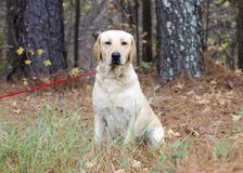 Yellow Labrador Retriever Dog with American Flag Bandana. Female Yellow Lab Retriever Dog sitting with American Flag Bandana on red leash in pine tree woods Stock Photo