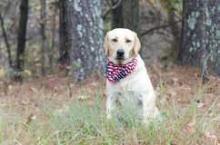 Yellow Labrador Retriever Dog with American Flag Bandana. Female Yellow Lab Retriever Dog sitting with American Flag Bandana on red leash in pine tree woods Royalty Free Stock Photo