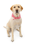 Yellow Labrador Retriever Dog with Bandana. A cute Yellow Labrador Retriever dog wearing a red and white checkered scarf. Isolated on white Royalty Free Stock Photography
