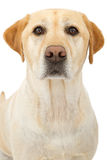 Yellow Labrador Retriever Dog Closeup Royalty Free Stock Images