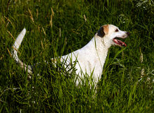 Yellow Labrador Retriever dog in grass hunting after a swim. Royalty Free Stock Images