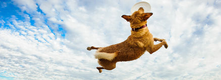 Yellow Labrador Retriever dog. Jumping up, catching frisbee with blue sky and clouds royalty free stock image