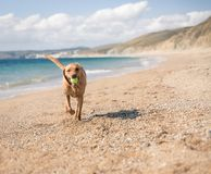 Yellow Labrador retriever dog playing fetch on a sandy beach. A happy yellow Labrador Retriever dog running along a sandy beach with the ocean behind and stock image