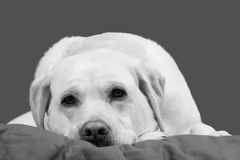 Yellow Labrador Retriever Dog Resting Chin and Dozing. A Yellow Labrador Retriever rests its chin on a blanket and begins to doze. Image is in black and white royalty free stock photo