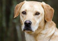 Yellow Labrador Retriever Dog Stock Photos