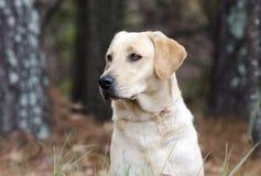 Free Yellow Labrador Retriever Dog With American Flag Bandana Royalty Free Stock Photography - 106338807