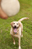 Yellow labrador retriever fetching ball Stock Photos