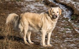 Yellow Labrador Retriever on Green and Brown Grassy Road Royalty Free Stock Photos