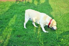Yellow labrador retriever on green grass lawn Royalty Free Stock Photography