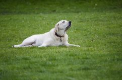 A yellow Lab smells a barbecue in the distance. A yellow Labrador Retriever with his nose in the air, lays on a green lawn and smells something in the distance royalty free stock photography