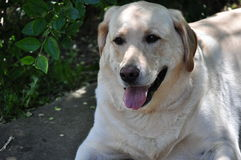 Yellow Labrador Retriever. Image of a male yellow Labrador retriever Royalty Free Stock Image