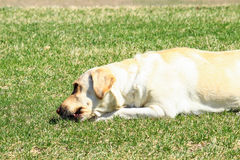 Yellow Labrador Retriever. This lab was laying in the sun on a spring day chewing on a bone royalty free stock photo