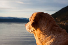 Yellow labrador retriever at the lake Royalty Free Stock Images