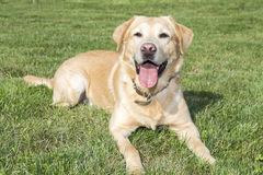 Yellow labrador retriever on  lawn Stock Photos