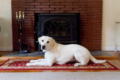Yellow Labrador Retriever laying in front of brick fireplace Royalty Free Stock Images