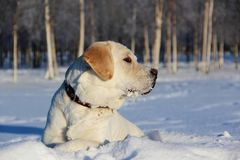 Yellow Labrador Retriever lies on the white snow stock images