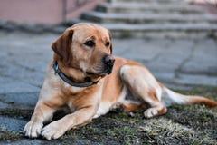 Yellow  labrador retriever. Yellow labrador lying on the ground Stock Image