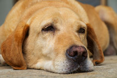 Yellow labrador retriever is lying in outdoor Stock Photo