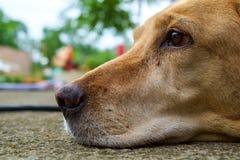 Yellow labrador retriever Royalty Free Stock Images