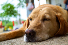 Yellow labrador retriever. Is lying in outdoor - selective focus Royalty Free Stock Images