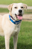 Yellow labrador retriever mix stock image