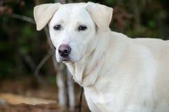 Yellow Labrador Retriever mixed breed dog Stock Photos