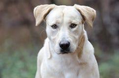 Yellow Labrador Retriever mixed breed dog Lab. Yellow Lab Retriever mixed breed dog wagging tail. Outdoor animal adoption photography for Walton County Animal Stock Photography