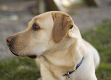Yellow labrador Retriever portrait Royalty Free Stock Photo