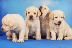 Yellow labrador retriever puppies. Against blue background Royalty Free Stock Image