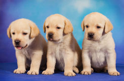 Yellow labrador retriever puppies. Against blue background Stock Photo