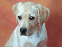 Yellow Labrador Retriever Puppy Royalty Free Stock Image