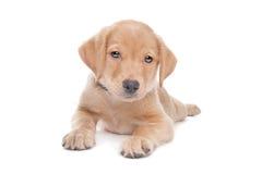 Yellow Labrador retriever puppy Royalty Free Stock Photo