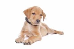 Yellow Labrador retriever puppy Stock Images