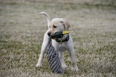 Yellow Labrador Retriever Puppy with Duck Toy stock photography