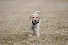 Focused Yellow Lab Puppy Looking at. Yellow Labrador Retriever puppy focused on the viewer stock photo