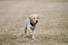 Focused Yellow Lab Puppy Points. Yellow Labrador Retriever puppy focused on the viewer royalty free stock photos